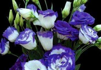 eustoma Flor: cultivo y cuidado en el hogar
