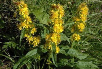 Goldenrod comum. As características de plantas
