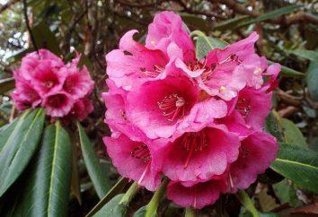 La plantation et le soin des rhododendrons au printemps