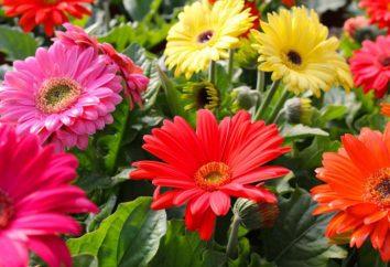 Gerber jardín: plantación y cuidado, cada vez mayor, foto