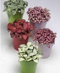 Mieszanka roślin ozdobnych: domowa pielęgnacja