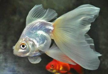 Ryby veiltail: opis, charakterystyka i zawartość opieki