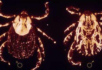 Krankheiten, die durch Zecken übertragen: Symptome. Welche Träge kreuzen sich die Krankheit?