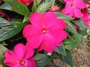 """""""Faísca"""" – uma flor do bálsamo"""