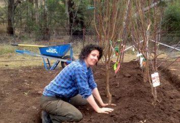 Piantare alberi da frutto al cottage estivo