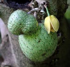 fruits exotiques Corossol Quel est ce fruit, qui pousse et comment appliquer?