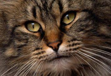 Wyjątkowa rasa kota – syberyjski