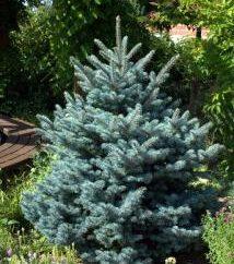 Blue Spruce: dostępne egzotyki na działce