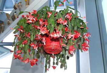Decabristi – I fiori di grande bellezza della famiglia dei cactus