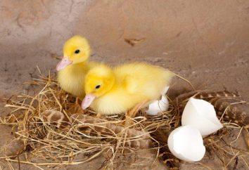 Die Inkubation von Enteneier. Inkubation Modus: In der Tabelle. Term Inkubation Enteneier