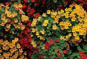 Il Nasturzio dimenticato e sconosciuto: la coltivazione e manutenzione