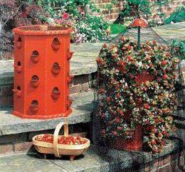 Secrets des agriculteurs: la culture de fraises dans un baril