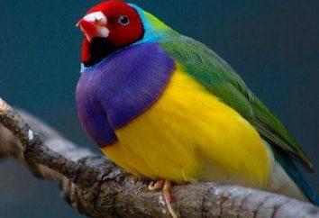 pinzón de Gould: descripción y hábitat