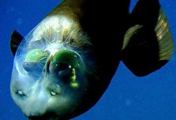 Ryba z przezroczystą głowę ma unikalny układ optyczny oka