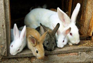 Elevage de lapins comme une entreprise: organiser ferme. Entreprise à partir de zéro pour les lapins reproducteurs