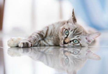 granulome éosinophile chez les chats: une description, les causes possibles et les caractéristiques de traitement