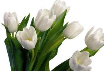 Po wykopaniu cebul tulipanów po kwitnieniu do sklepu