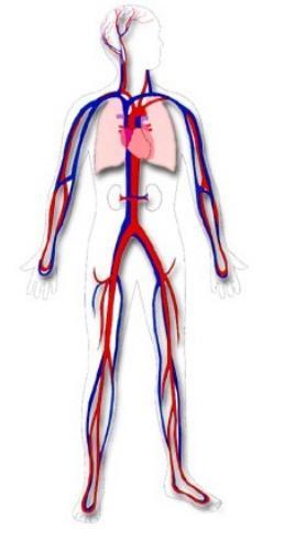 Große und kleine Kreise der Blutzirkulation: die Regelung