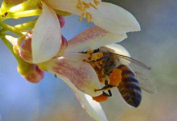 Użyteczne właściwości pyłki zebrane przez pszczoły