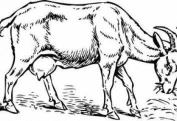 Riddles sobre a cabra – um fascínio intelectual para crianças