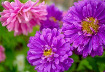 Astra. Messa a dimora e la cura dei fiori in giardino