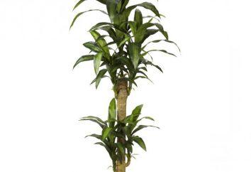 Palma yuca: el cultivo y mantenimiento. Características yuca árbol cuidado de palma