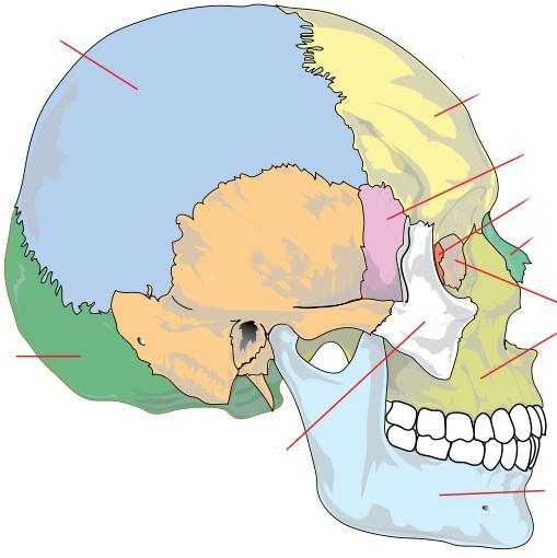hueso etmoides del cráneo. Apareados y no apareados huesos del cráneo