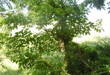 Velours Amur. Les propriétés curatives de l'arbre de guérison