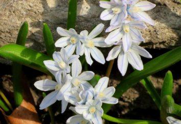 Pouchkine: plantation et l'entretien. Pouchkine (fleurs): Description