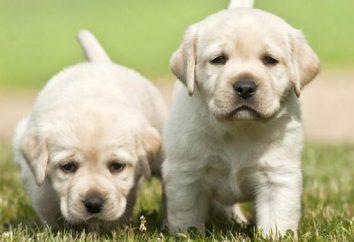 Co RSS Labrador? Jak karmić Labrador