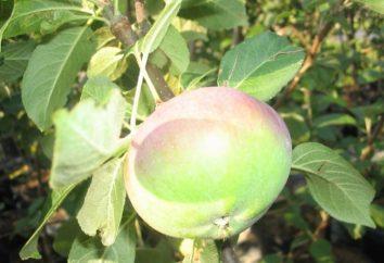 Lobo Apple Tree – una sorta di maturazione tardiva