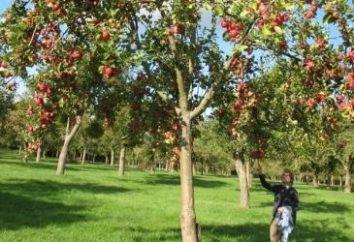 Quando a colheita da maçã: Dicas profissionais