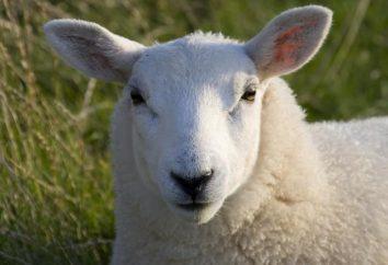 Perché il sogno di una pecora? oneiromancy