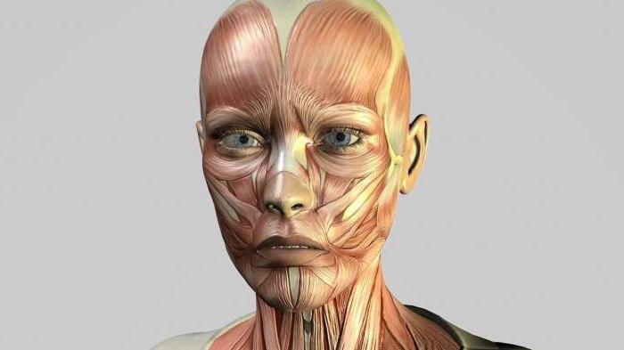 La función de los músculos faciales. Características de la ...