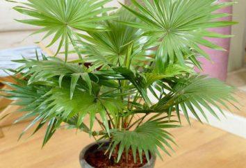 Palm Liviston: cura domestica, in particolare crescita e recensioni