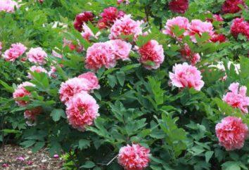 Kiedy sadzić piwonie w spadku? zasady sadzenia