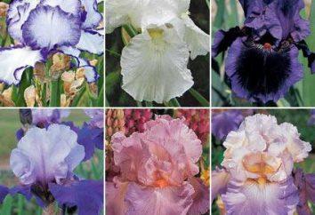 Iris niemiecki: sadzenie i pielęgnacja