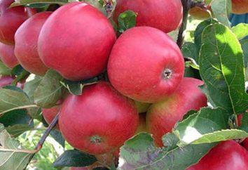 "La varietà di mela ""stroevskoe"""