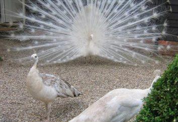 pavoni bianchi – la più interessante di questi uccelli?