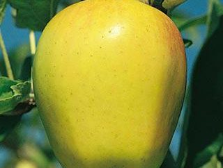 Comment la pomme « Golden Delicious »? Description du bois et des fruits
