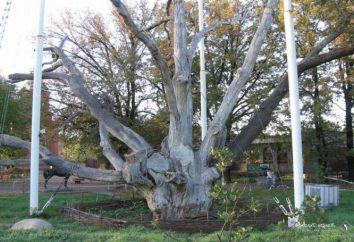Legenden im Zusammenhang mit Eichen Zaporozhye