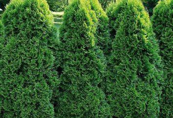 Como plantar arborvitae, e cuidar deles?