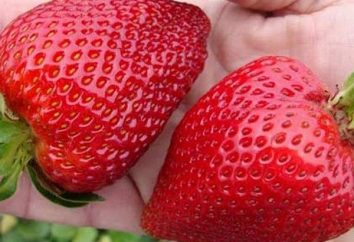 Strawberry Gigantella – descrizione della varietà, le regole di coltivazione