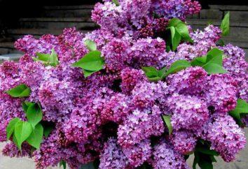 Wie in einer Vase lilacs zu halten? Secrets Floristen und erfahrene Gärtner