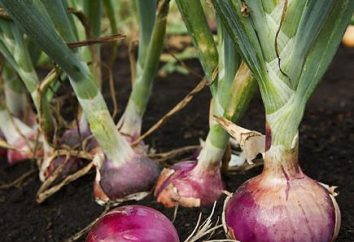 Bereiten Sie Zwiebel auf dem Kopf zu passen. Vorbereitung Zwiebel-Sets vor dem Einsteigen. Bereiten Sie den Boden für die Bepflanzung in den Frühlingszwiebeln