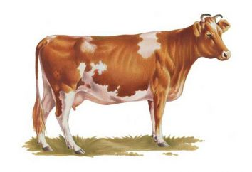 Cow Ayrshire razza – la scelta migliore per la produzione di latte sostenibile