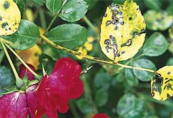 Na liście czarne plamy róże: co robić i jak leczyć?
