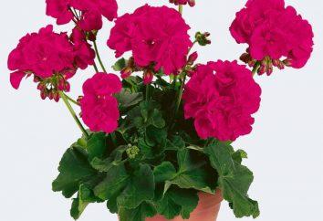 Kryty kwiat, kwitnących przez cały rok. Bezpretensjonalny doniczkowe kwitnące