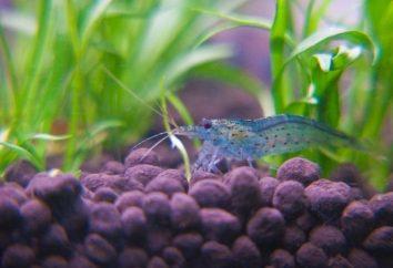 Krewetki Amano – dobrym pomocnikiem w akwarium