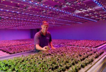 Lampa LED do szklarni i roślin wewnętrznych: porady na temat wyboru i opinie